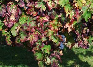 Carignan - sądząc po liściach - blisko zbiorów