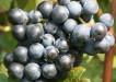 Dornfelder-grapes