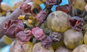 Winogrona na wino typu Ausbruch