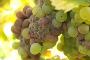 Winogrona w Sauternes porażone botrytis