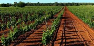 Winnice w apelacji Primitivo di Mandura