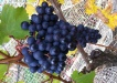 Dolcetto_grapes